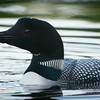 loons_2014_011