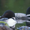 loons_2014_039