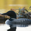 loons_2014_030