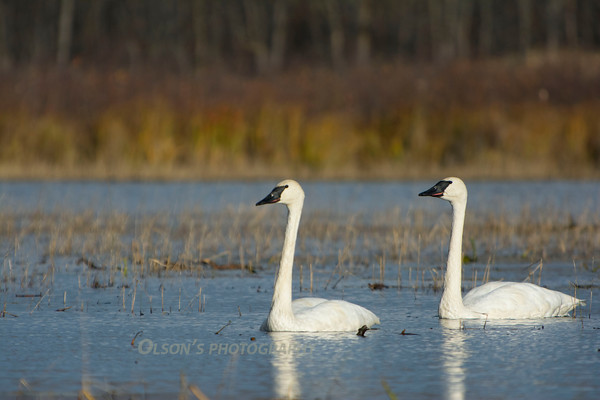 swans_leaves_0007
