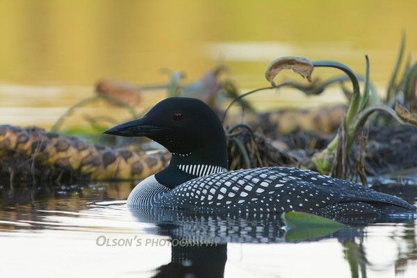 loons_2014_029