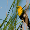 yellow_headed_bla053010adj020