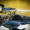 loons_2014_026
