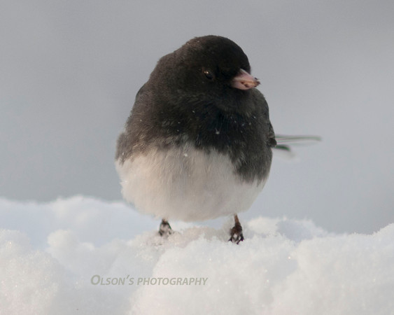 junco_ birds002