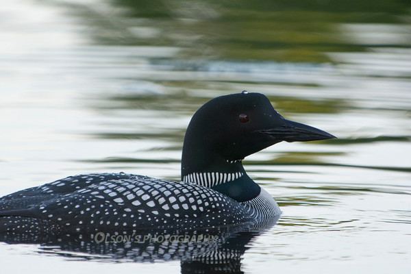 loons_2014_012
