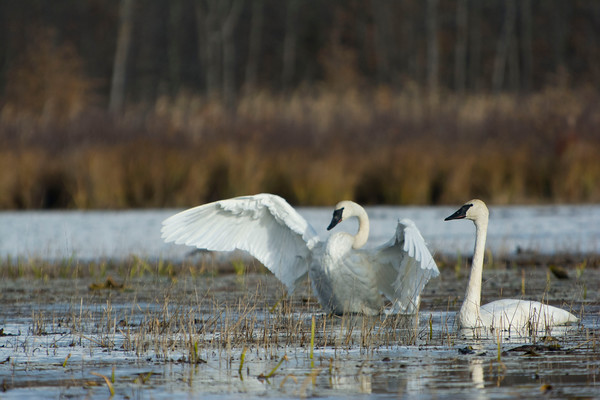 swans_leaves_0010