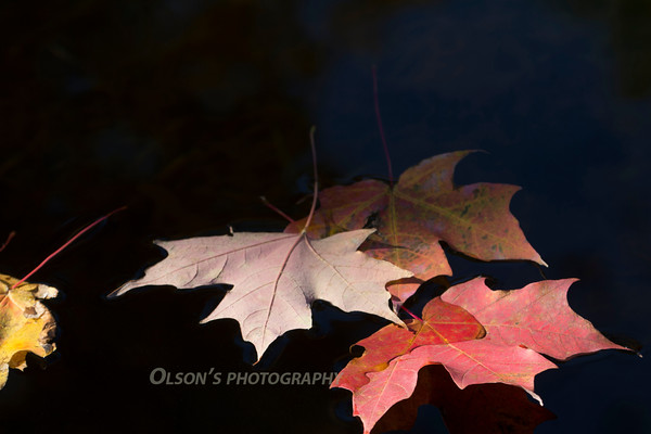 swans_leaves_0020