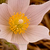 pasque-flower__2