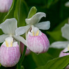 pink_lady_slipper_flower__1