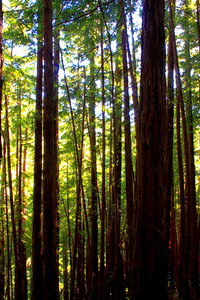 Enchanted woods of Muir 1 of 4