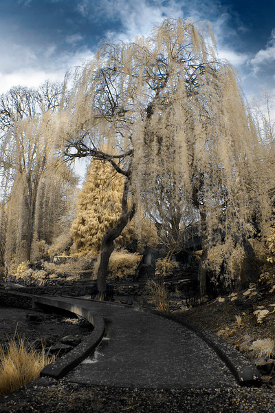 Crystal Springs Willow