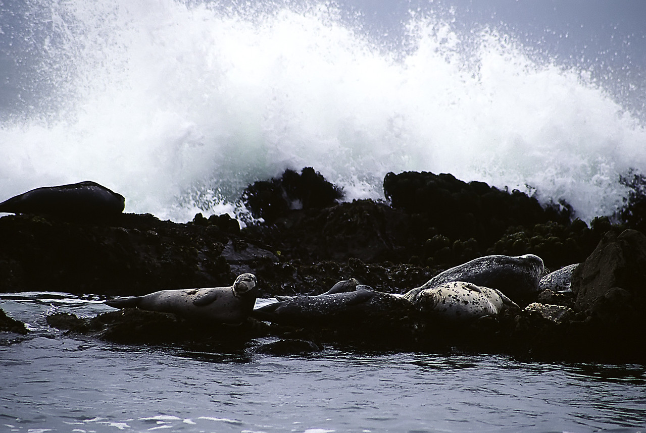 "Basking Seals<br /> Fitzgerald Marine Reserve, Moss Beach, California<br /> By Brett Downen<br /> <br /> Float Mounted MetalPrint<br /> Available sizes: 4"" x 6"", 8"" x 12"", 16"" x 24"". 24"" x 36"""