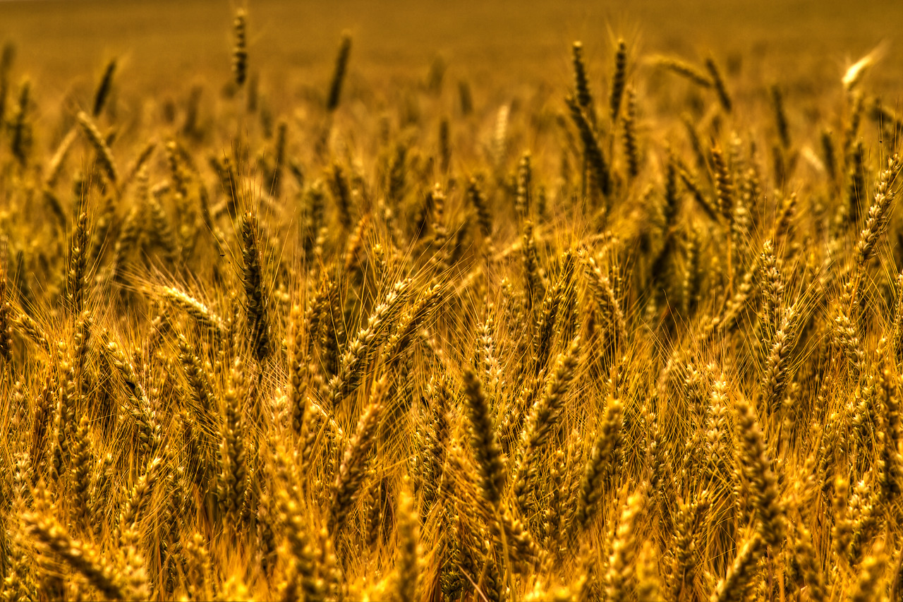 Oregon Wheat (who knew???)<br /> <br /> by Brett Downen