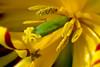 Macro tulip, Wooden Shoe Festival, Woodburn Oregon
