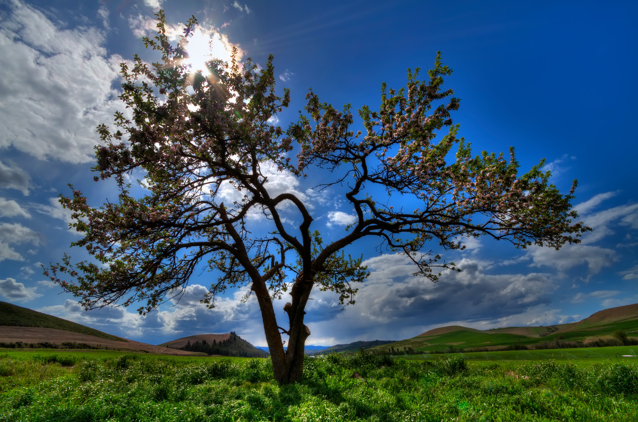 "Cherry Blossom Tree<br /> Near The Dalles, Oregon<br /> By Brett Downen<br /> <br /> Float Mounted MetalPrint<br /> Available sizes: 4"" x 6"", 8"" x 12"", 16"" x 24"". 24"" x 36"""