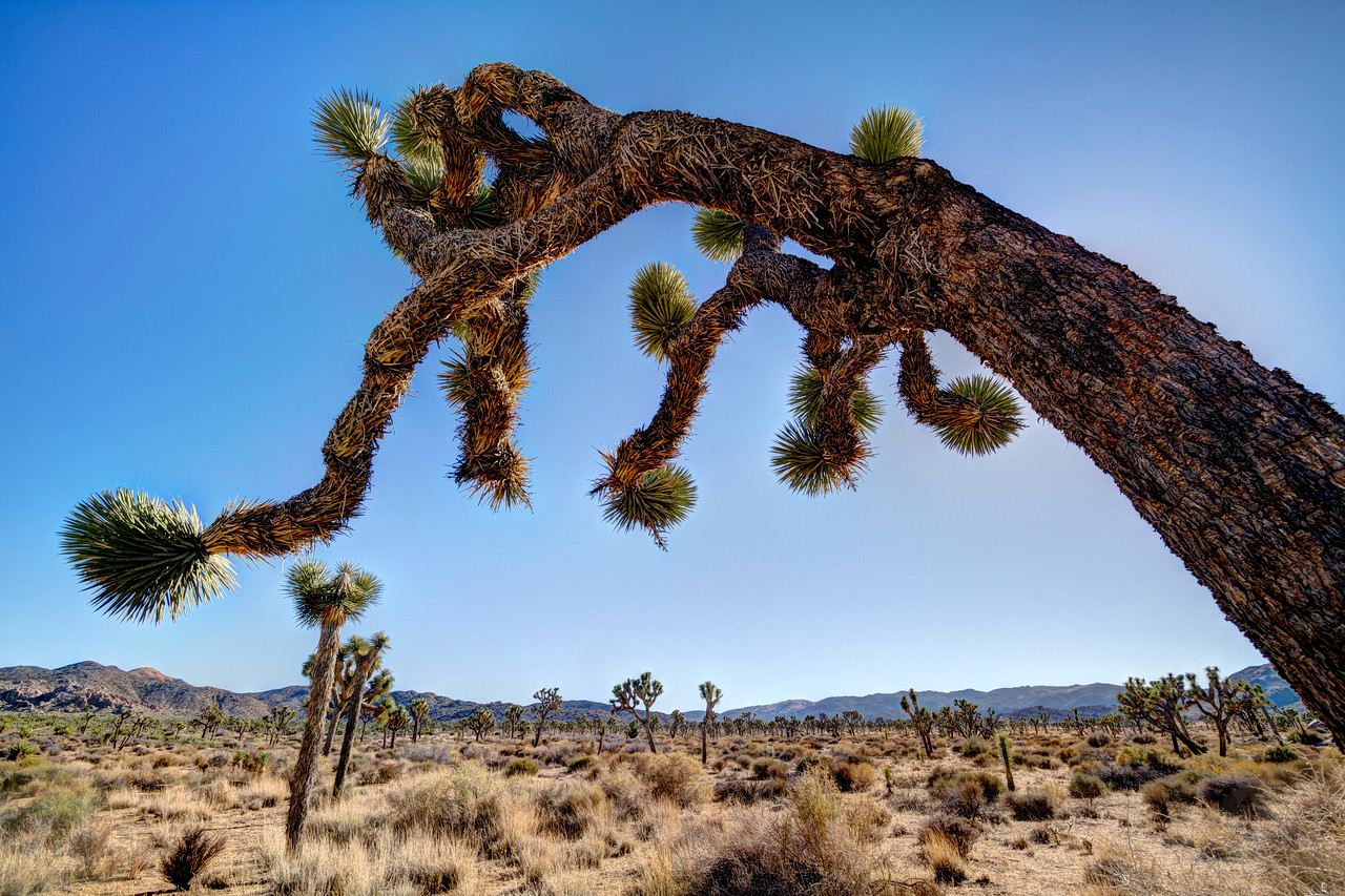 Joshua Tree providing some shade and texture<br /> <br /> by Brett Downen