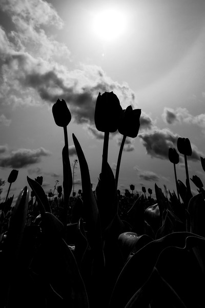 The Darker Side of Tulips The Wooden Shoe Festival, Woodburn, Oregon