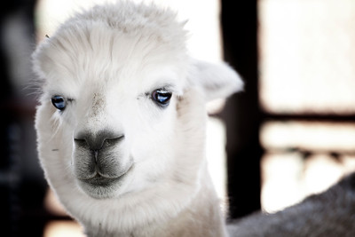 The prettiest alpaca in the herd.  by Brett Downen
