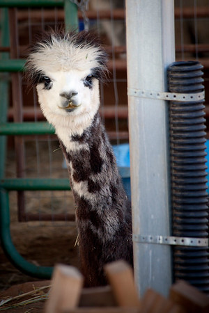 Alpacas are hilarious  by Brett Downen