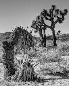Droopy Joshua Tree National Park  by Brett Downen