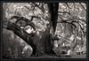 Ruskin Oak, Ocean Springs Mississippi