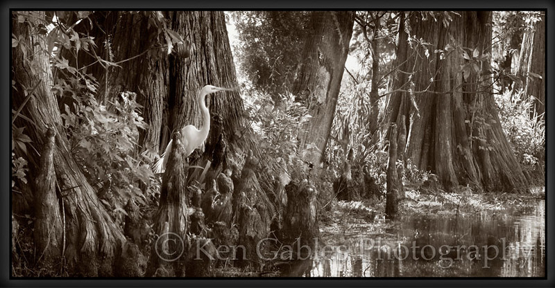 The Great Egret, Magnolia Plantation, Charleston South Carolina