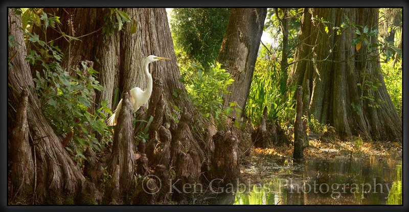 Great Egret, Magnolia Plantation, Charleston South Carolina