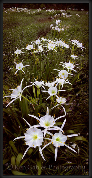 Cahaba Lilies, Cahaba River, Bibb County Alabama
