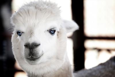 The prettiest alpaca in the herd.  by Brett Downen