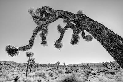 B/W version of the shaded Joshua Tree  by Brett Downen