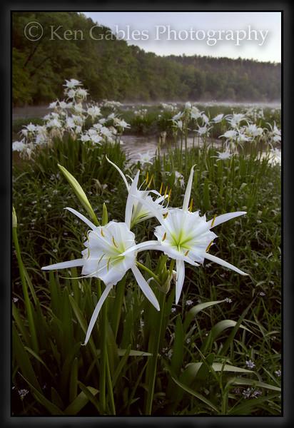 Cahaba Lily Portrait #13, Cahaba River, Bibb County Alabama