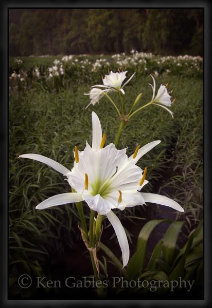 Cahaba Lily Portrait #9, Cahaba River, Bibb County Alabama
