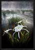 Cahaba Lily Portrait #3, Cahaba River, Bibb County Alabama