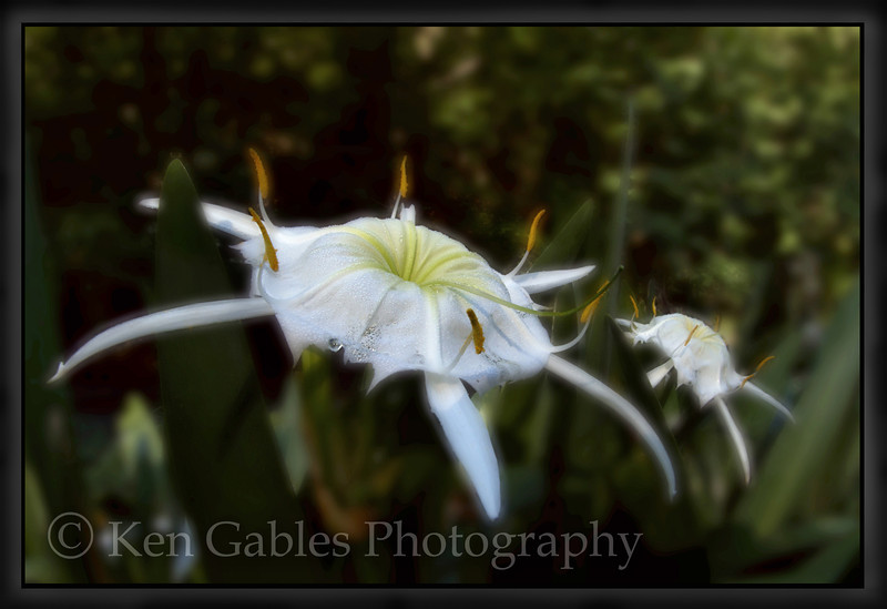 Cahaba Lily Portrait #15, Buck Creek, Shelby County Alabama