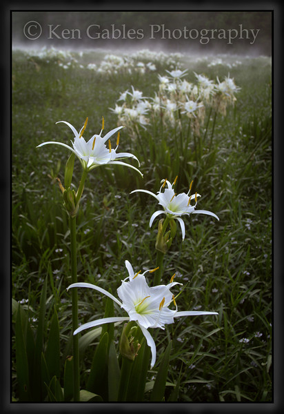 Cahaba Lily Portrait #12, Cahaba River, Bibb County Alabama