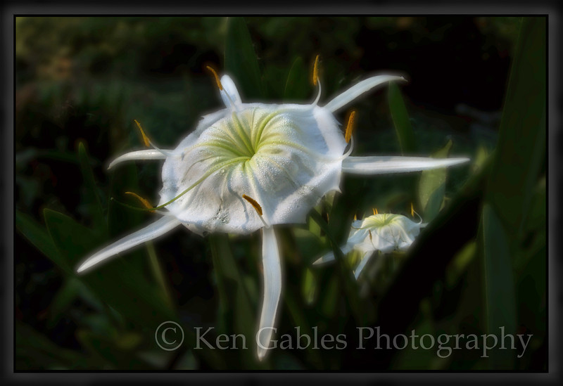 Cahaba Lily Portrait #14, Buck Creek, Shelby County Alabama