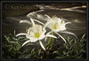 Cahaba Lily Portrait #5, Buck Creek, Shelby County Alabama