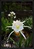 Cahaba Lily Portrait #8, Cahaba River, Bibb County Alabama