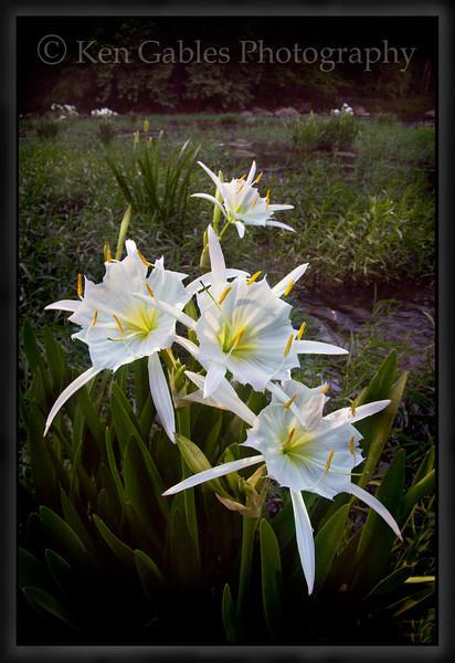 Cahaba Lily Portrait #7, Cahaba River, Bibb County Alabama