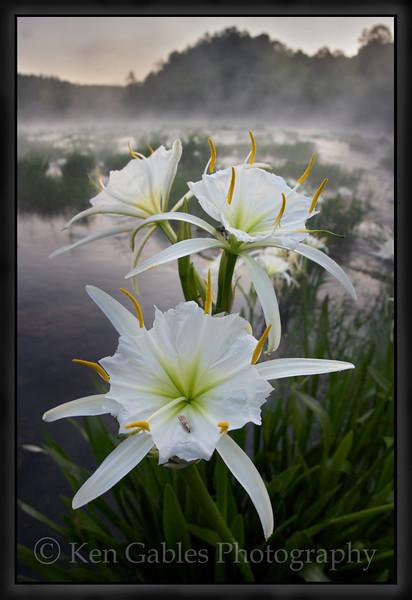 Cahaba Lily Portrait #17, Cahaba River, Bibb County Alabama