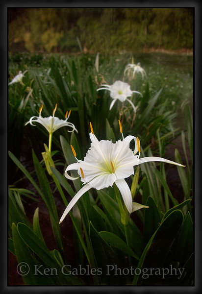 Cahaba Lily Portrait #1, Cahaba River, Bibb County Alabama