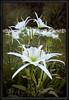 Cahaba Lily Portrait #6, Cahaba River, Bibb County Alabama