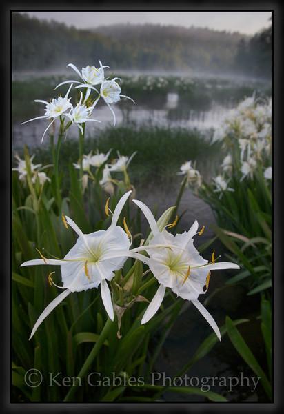 Cahaba Lily Portait #16, Cahaba River, Bibb County Alabama