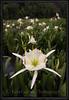 Cahaba Lily Portrait #10, Cahaba, River, Bibb County Alabama