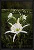 Cahaba Lily Portrait #11, Cahaba River, Bibb County Alabama
