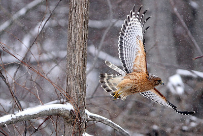 Chris Ammann/Baltimore Examiner A red-tailed hawk takes flight from a branch of a snow covered tree near Gamber on Wednesday, March 7, 2007.