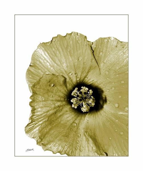 Hybiscus1-sig-brdr