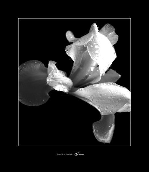 White Lilly on Black
