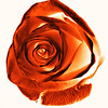 Orange rose with light and shadows on a white background