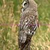 Burt is a Great Grey Owl. They are native to the Northern hemisphere and Arctic region.